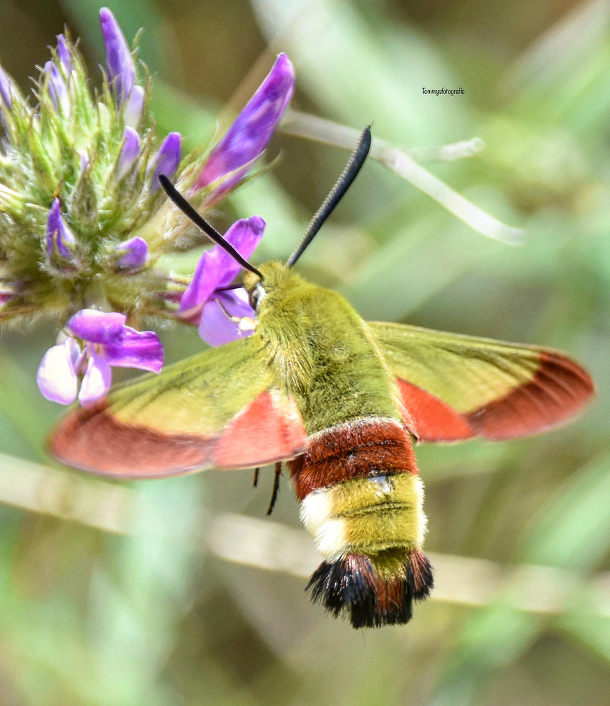 The olive bumblebee swarm (Hemaris croatica) is a butterfly (moth) from the swarm family (Sphingidae).  Der Olivgrüner Hummelschwärmer (Hemaris croatica) ist ein Schmetterling (Nachtfalter) aus der Familie der Schwärmer (Sphingidae).