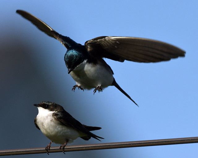 850_9546. Tree Swallows