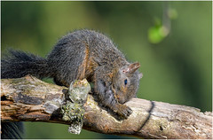Almost Nap Time for the Baby Squirrel