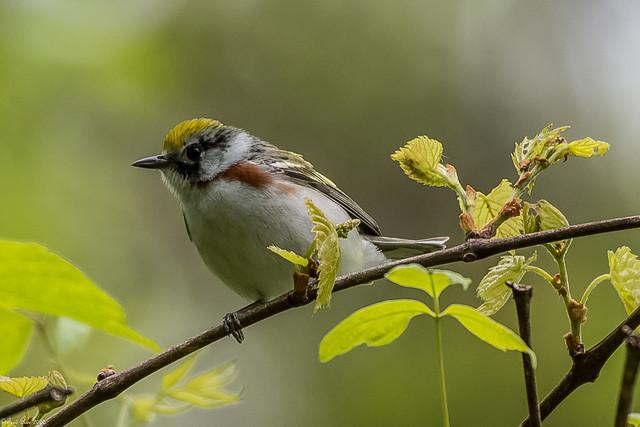 Chestnut-sided Warbler [Setophaga pensylvanica]