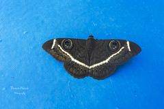 Angola butterfly