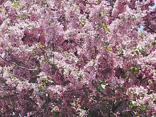 Pink Crabapple Splendor