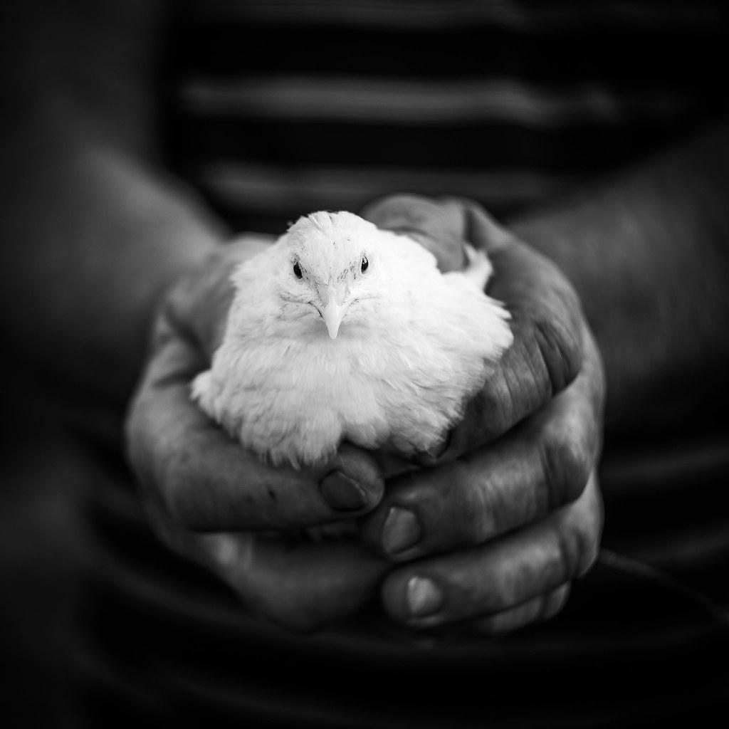 Farm portraits – quail