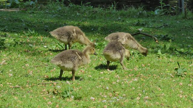 Jonge grauwe gansjes/ Greylag goslings