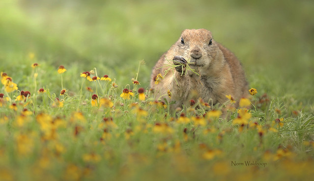 Prairie Dog with Fistful of Grass