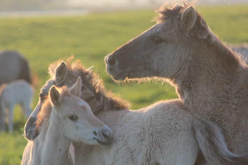 Savvaļas zirgi