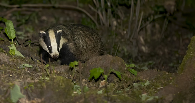Meles meles .... Badger, looking for its supper.