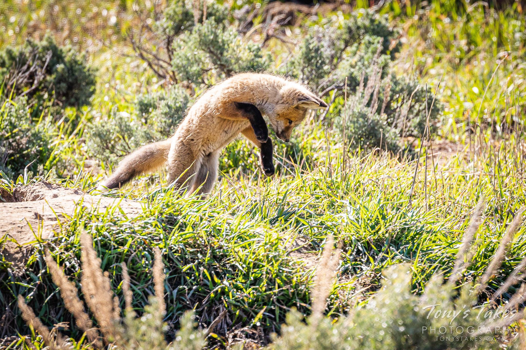 Fox kit pounces on its prey