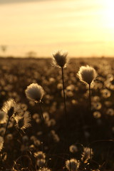 """Hares-tail Cottongrass """"Explored"""""""