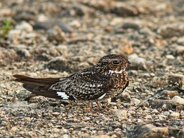 Common Nighthawk 01-20200527