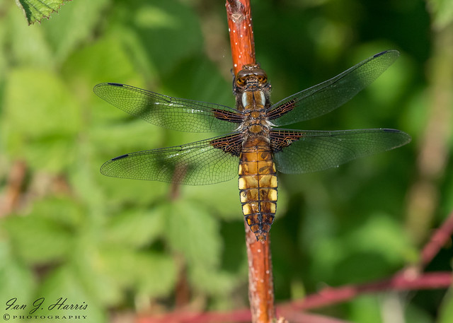 Broad-bodied chaser macro ( Explored ) #68