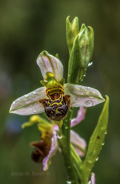 ophrys apifera 2020