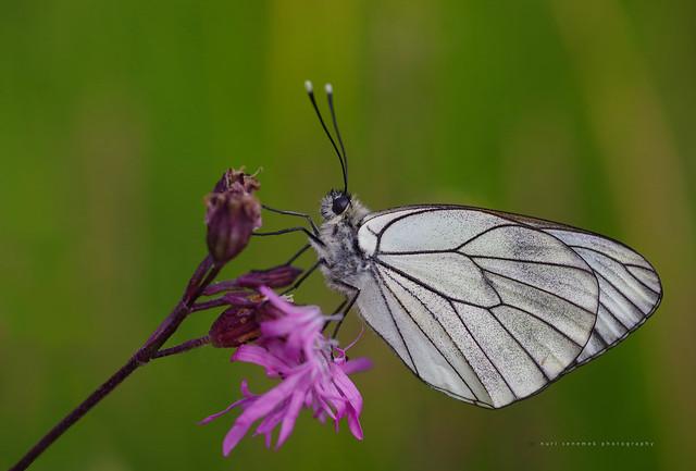 Black-veined White