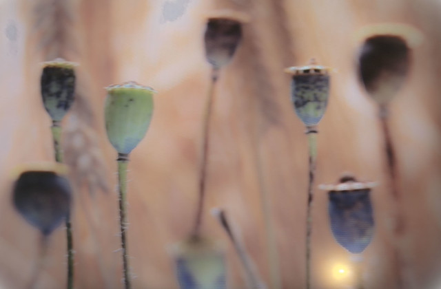 Müstitic # Samenkapseln von mohnblumen