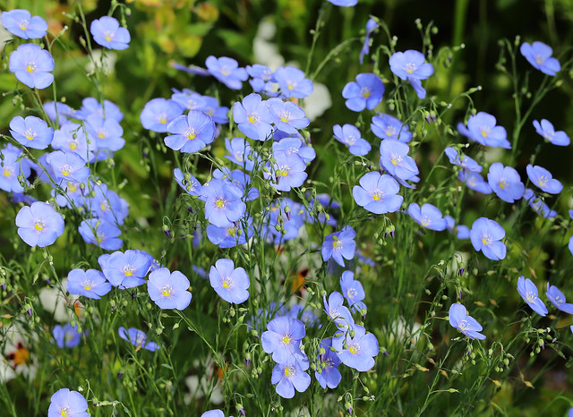Flax - in the back garden