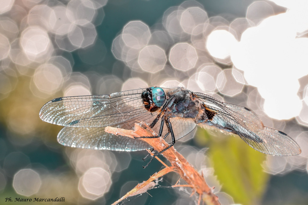 Dragonfly and bokeh
