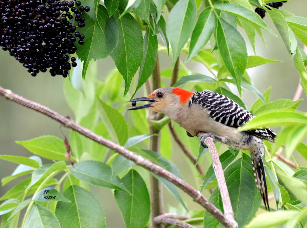 Momma RED-BELLIED WOODPECKER was enjoying the Elderberries in the pollinator garden at Bok Tower Gardens Lake Wales Florida USA 5/27/20 also nice to see Barbara Comer this morning