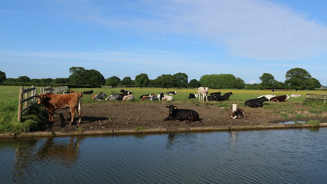 Canal Cattle