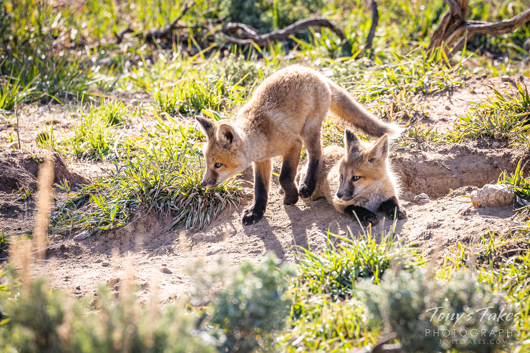 Red fox kits keep close watch on a nearby magpie. (© Tony's Takes)