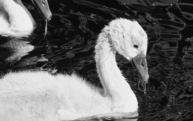 Swan Family 024
