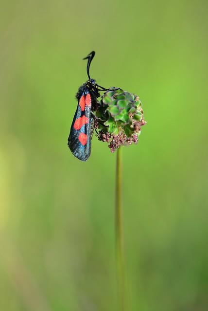 Splodgy Burnet moth
