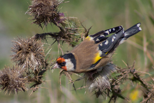 European Goldfinch feeding on Thistle seeds | by Finn Davey