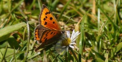 Small Copper.