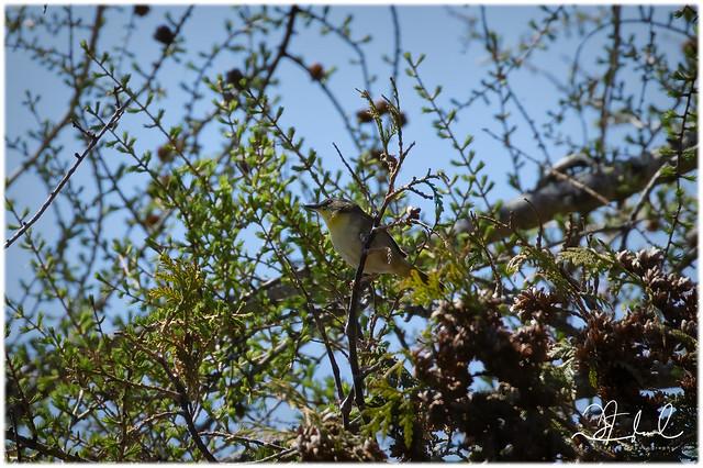 Common Yellowthroat - F