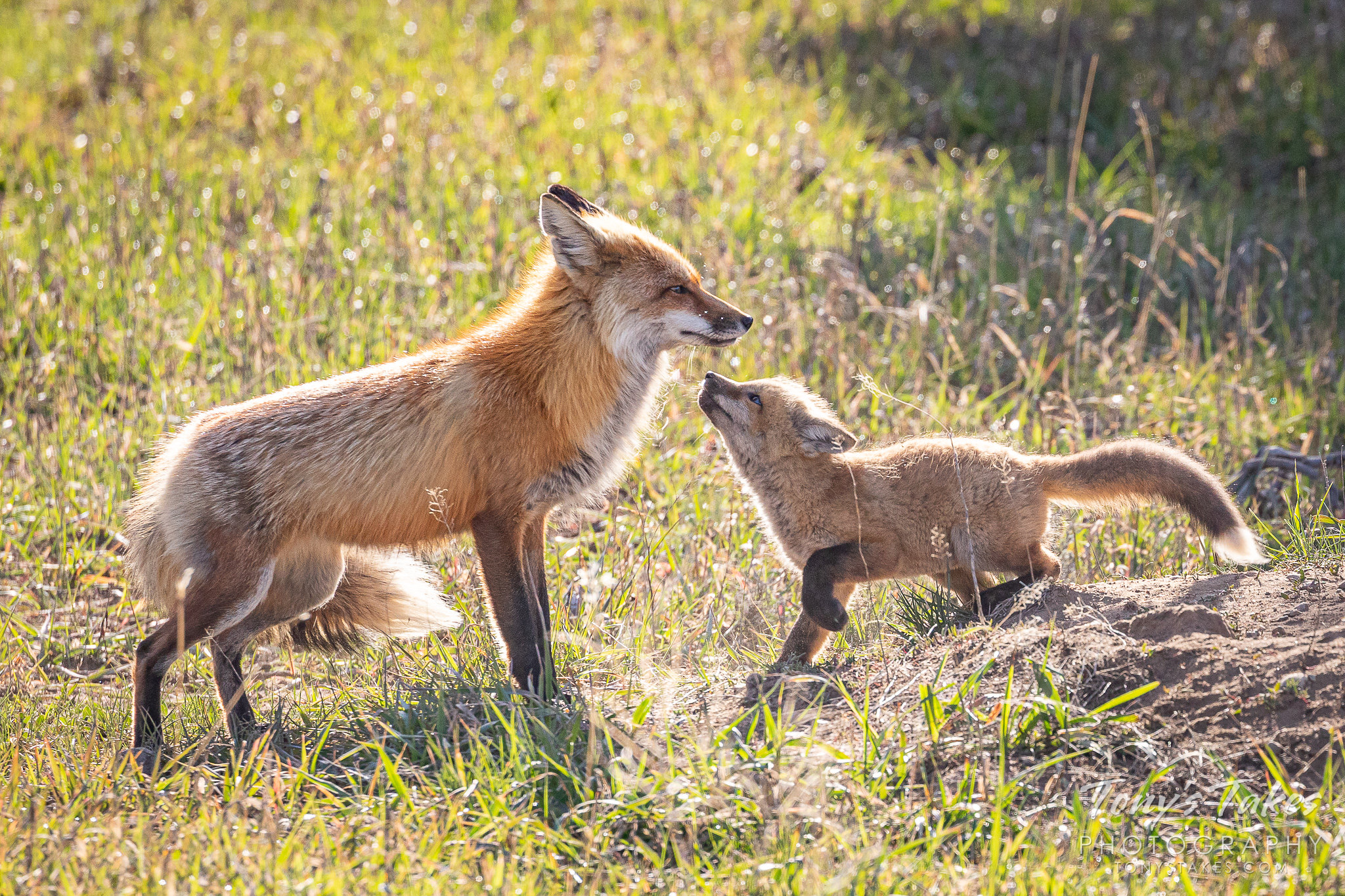 A red fox kit greets its father on his return to the den. (© Tony's Takes)