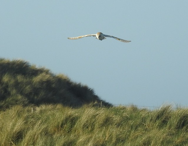 Barn Owl Over Cresswell Dunes