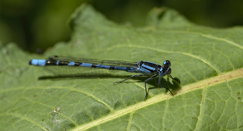 male (?) common blue damselfly (Enallagma cyathigerum)