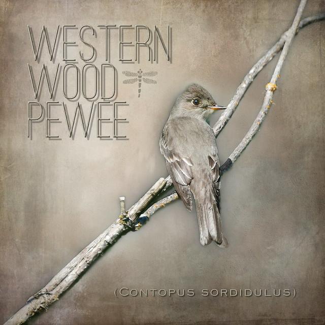 western wood pewee (Contopus sordidulus) . . .