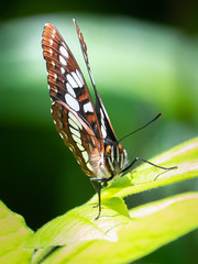 Lorquin's Admiral by TW Olympia