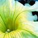 Petunia, Yellow