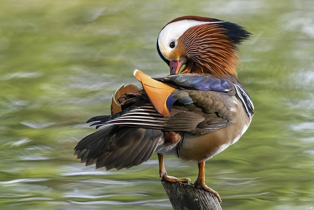 Mandarin Duck, Nottinghamshire.