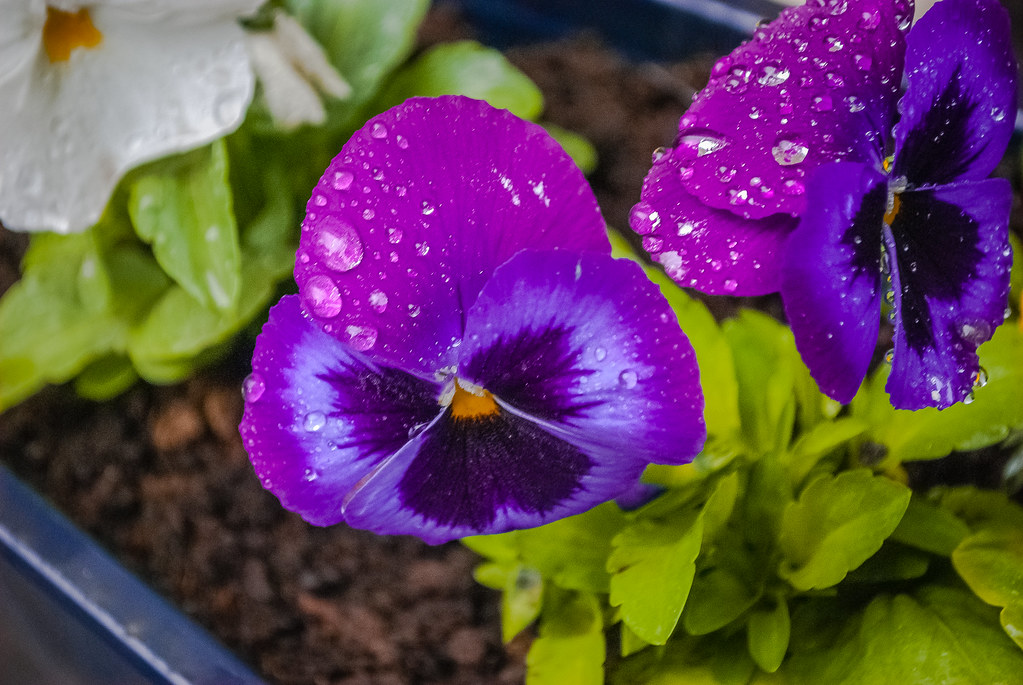 Gorgeously purple!!  15:31:39 DSC_5739