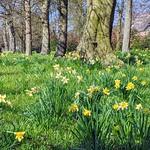 Late daffodils at Ashton Park