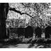 Churchyard blossom