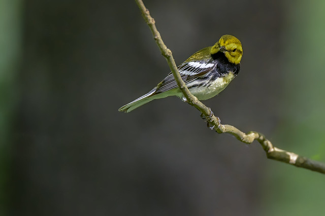 Black-Throated Green Warbler (explored 5/29/20)