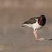 American Oystercatcher - Haematopus palliates | 2020 - 3
