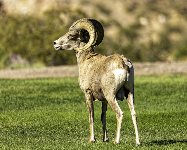02469376423119840-125-20-05-Bighorn Sheep in the Mojave Desert-52-Black and White