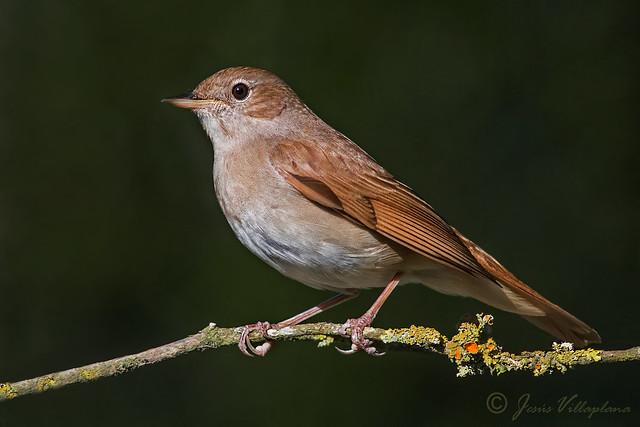Rossinyol/Ruiseñor común/Common nightingale (Luscinia megarhynchos)