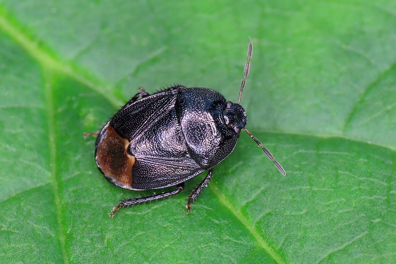 Forget-me-not Shieldbug - Sehirus luctuosus