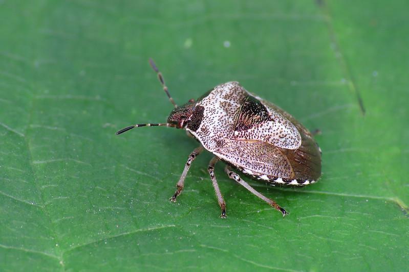 Woundwort Shieldbug - Eysarcoris venustissimus