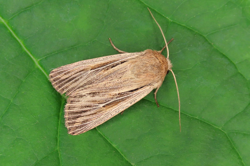 73.301 Shoulder-striped Wainscot - Leucania comma