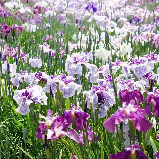 1080x1080 Iris ensata