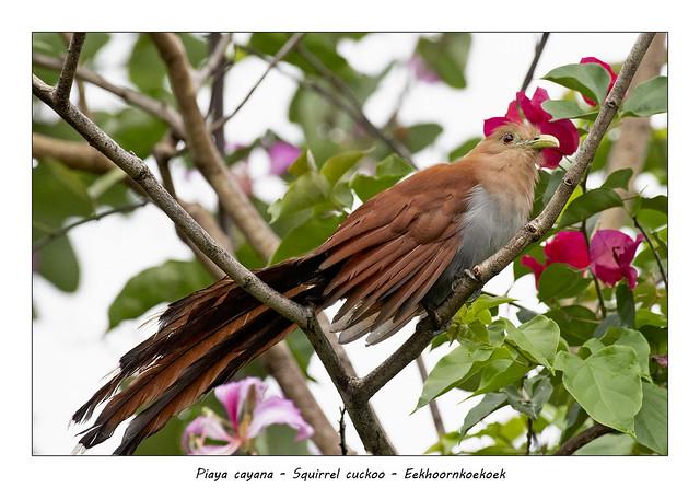Squirrel cuckoo, bad hairday