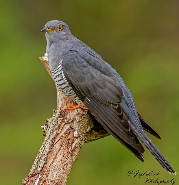 DSC8900  Cuckoo...
