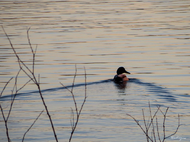 Lonely Duck - Canard solitaire