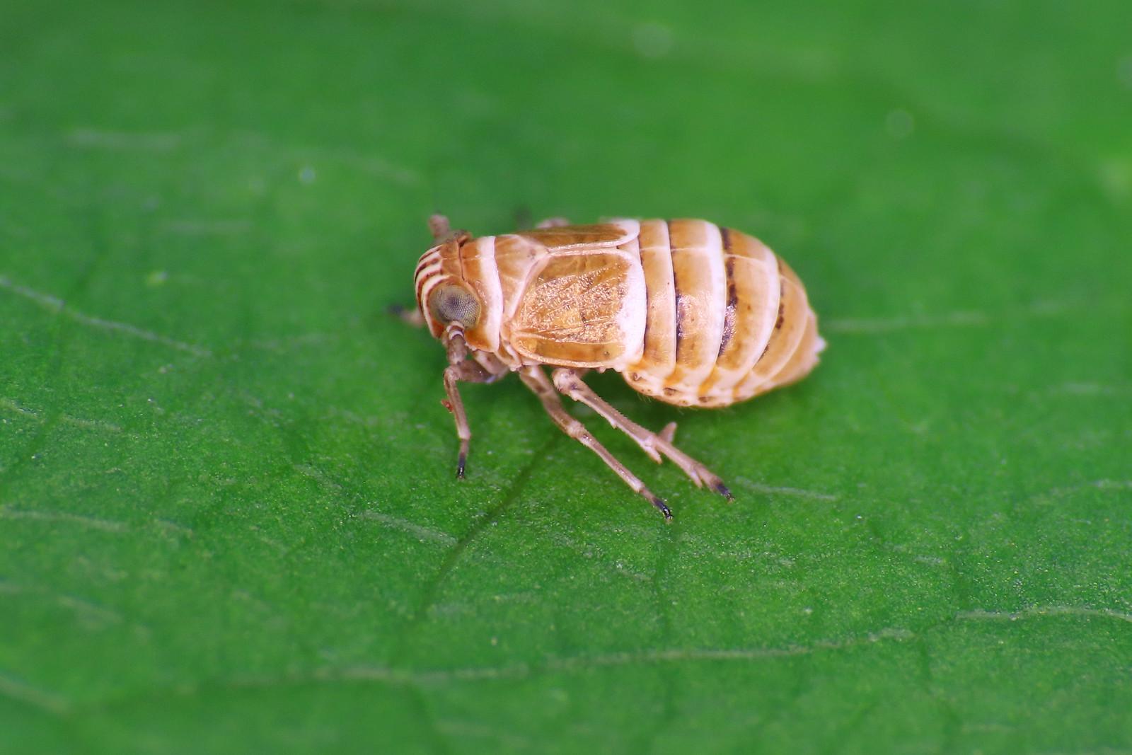 Criomorphus cf. albomarginatus